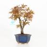 Acer palmatum viridis - acero - 26 cm