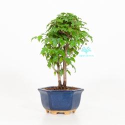 Acer buergerianum - Érable - 25 cm