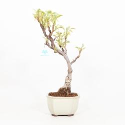 Wisteria floribunda - Glycine - 44 cm