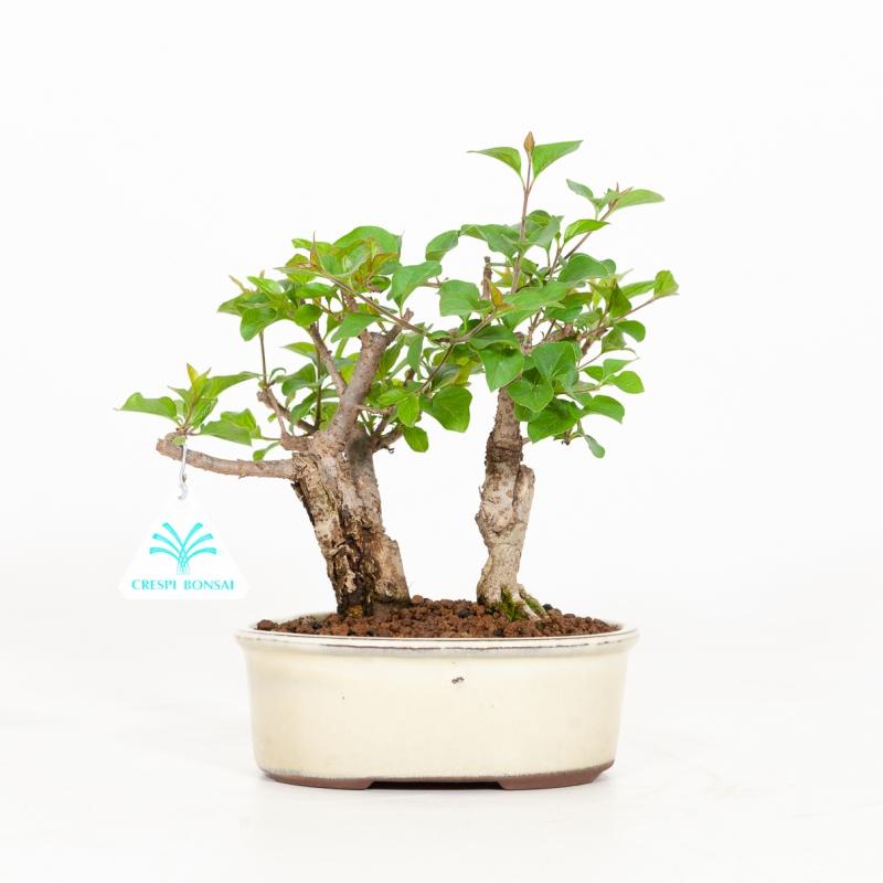 Syringa vulgaris - Lilac - 23 cm