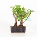 Syringa vulgaris - Lillà - 23 cm