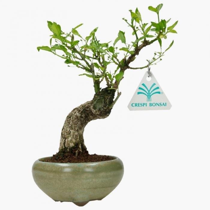 Euonymus - Evonimo - 21 cm