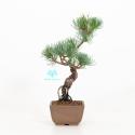 Pinus pentaphylla - Pine five needles - 26 cm