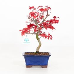 Acer palmatum deshojo - Acero - 32 cm