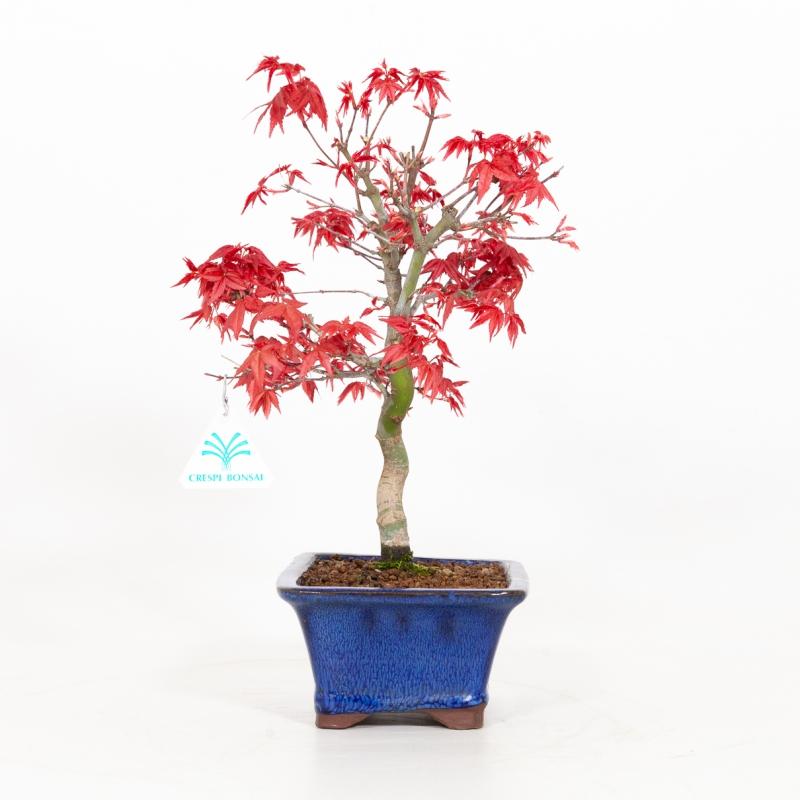 Acer palmatum deshojo - Maple - 32 cm