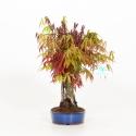 Acer palmatum - Érable - 28 cm