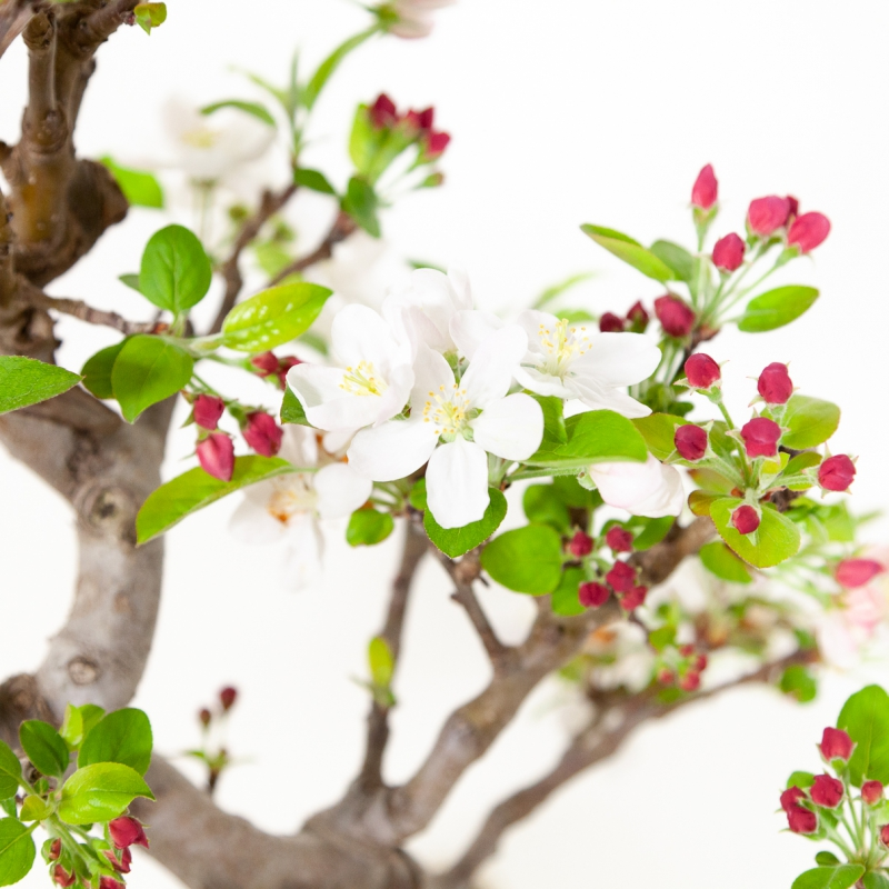 Malus evereste - Apple tree - 49 cm