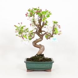 Malus evereste - Apple tree - 42 cm