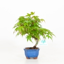 Acer palmatum viridis - Acero - 22 cm