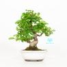 Ligustrum Obtusifolium - Ligustro - 23 cm