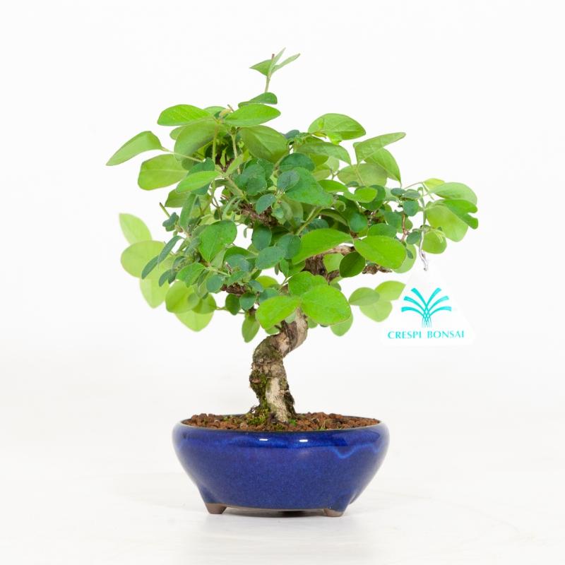 Lonicera Gracilipes glabra - 20 cm