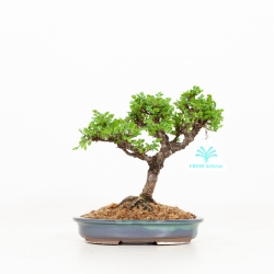 Ulmus parviflora - Olmo - 18 cm