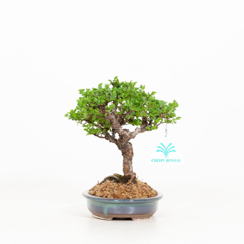 Ulmus parviflora - Orme - 18 cm