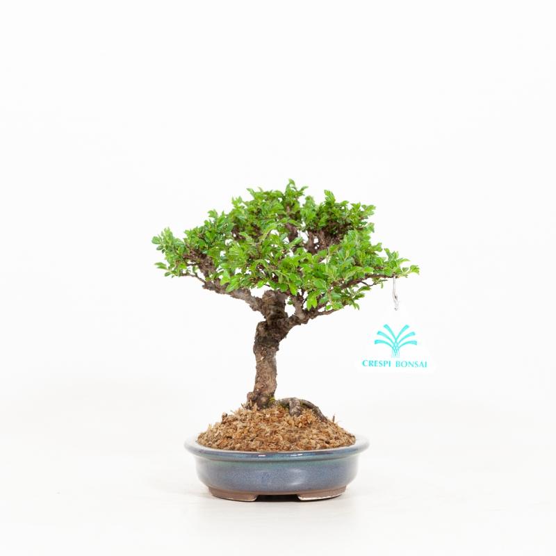 Ulmus parviflora - Elm - 18 cm