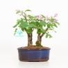 Syringa vulgaris - lillà - 22 cm
