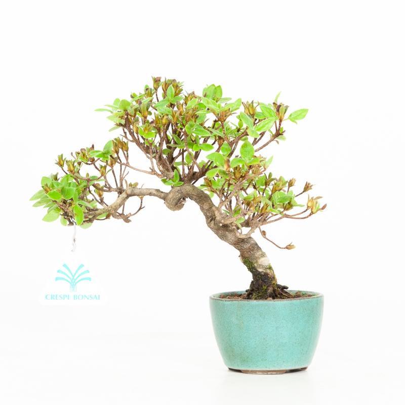 Azalea - 20 cm