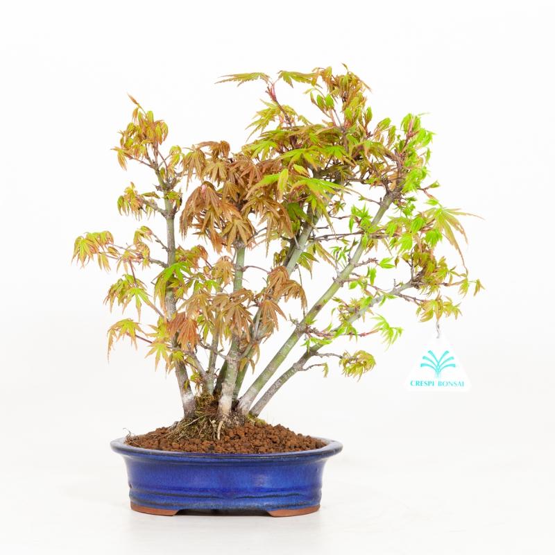Acer palmatum viridis - Érable - 29 cm