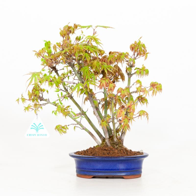 Acer palmatum viridis - Maple - 29 cm