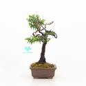 Taxus cuspidata - Tasso - 23 cm