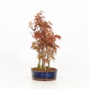 Acer palmatum viridis - Acero - 24 cm