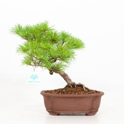 Pinus pentaphylla - Pin à cinq aiguilles - 29 cm