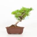 Pinus pentaphylla - Pino - 29 cm