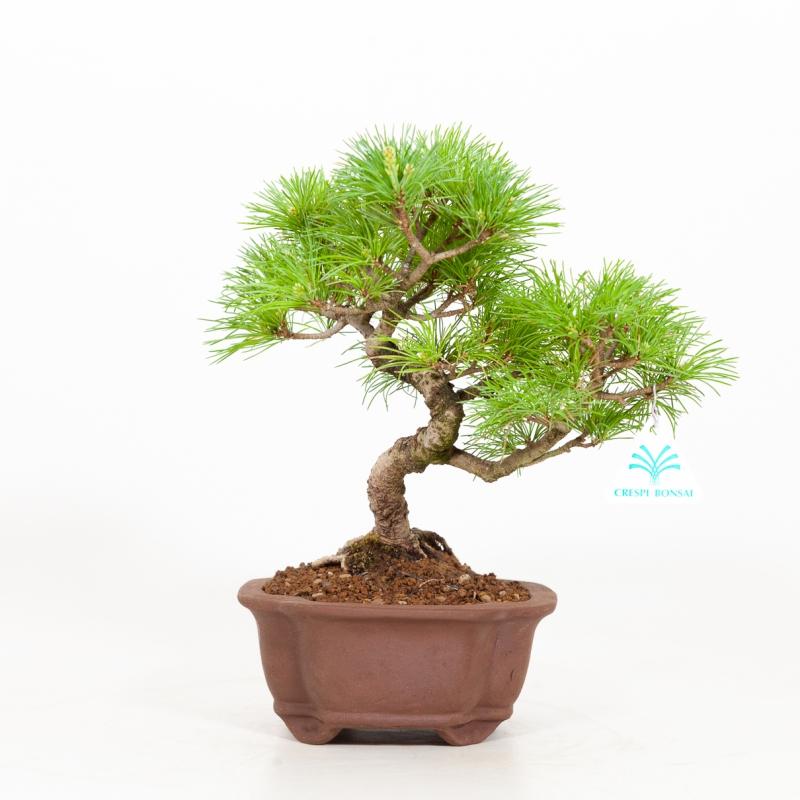 Pinus pentaphylla - Pine five needles - 29 cm