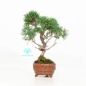 Juniperus chinensis - Juniper - 21 cm