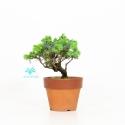 Juniperus rigida - Ginepro ad aghi - 18 cm