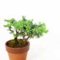 Juniperus rigida - Genévrier rigide - 18 cm