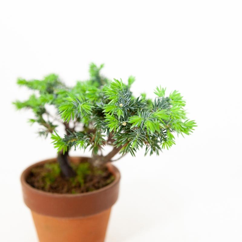Juniperus rigida - Temple jupiter - 18 cm