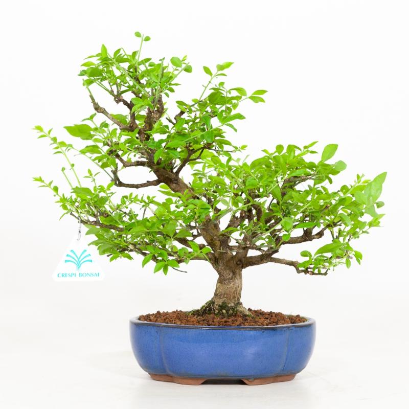 Euonymus - Evonimo - 30 cm