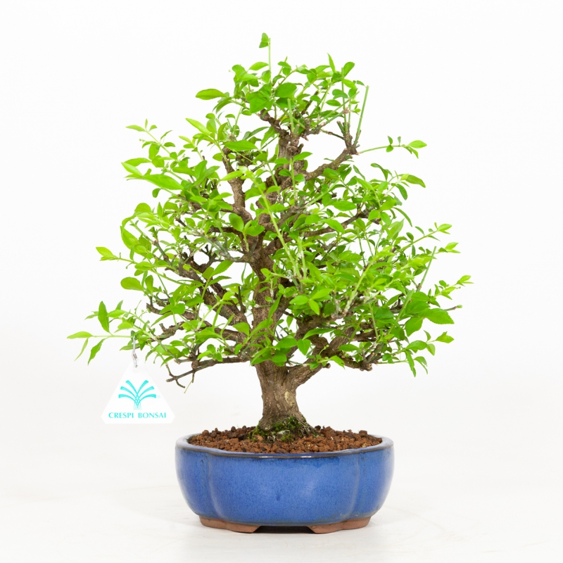 Euonymus - Fusain - 30 cm