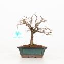 Zelkova serrata - Elm - 17 cm
