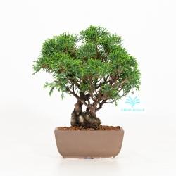 Juniperus chinensis - Genévrier de Chine - 23 cm