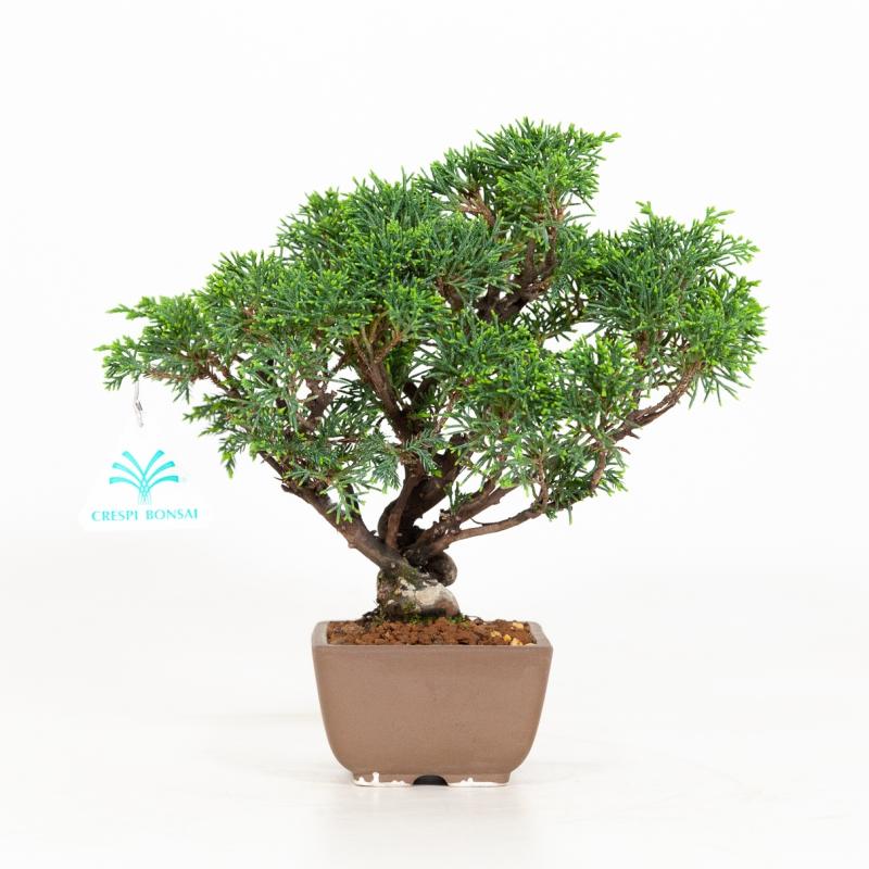 Juniperus chinensis - Juniper - 23 cm