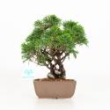 Juniperus chinensis - Ginepro - 23 cm
