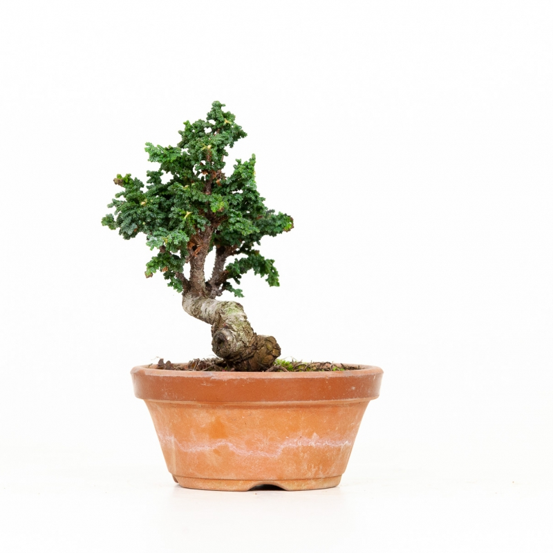Chamaecyparis sekka - 16 cm