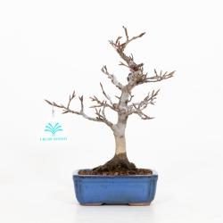 Fagus crenata - Faggio - 24 cm