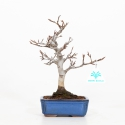 Fagus crenata - Japanese beech - 24 cm