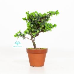 Juniperus rigida - Ginepro ad aghi - 24 cm