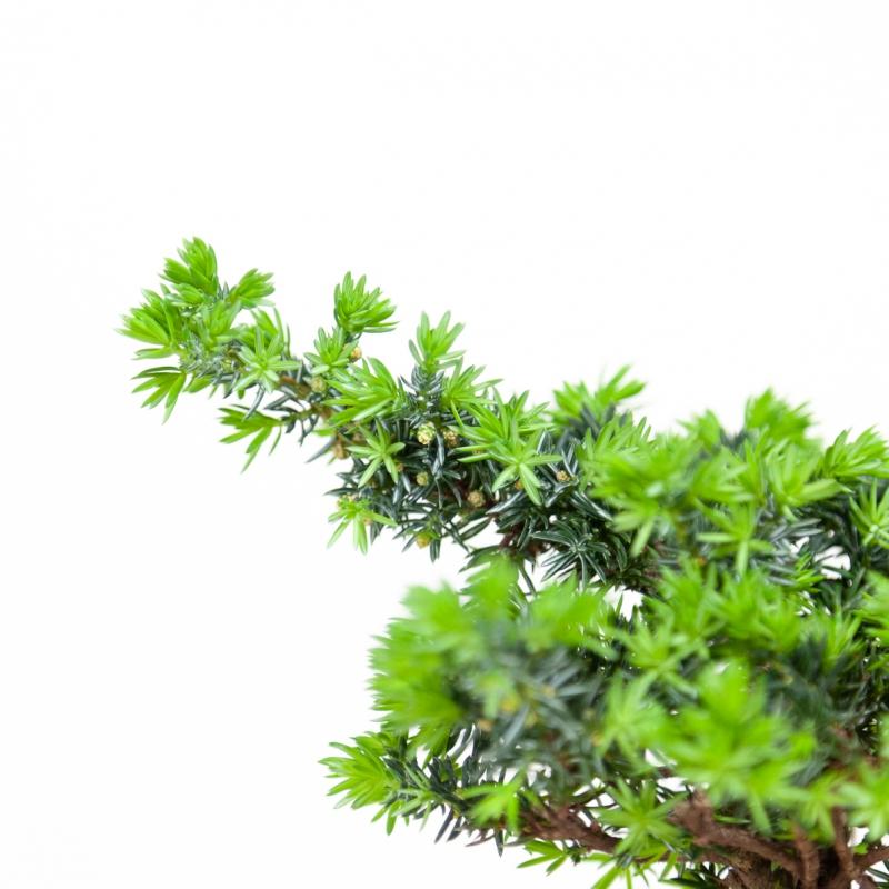 Juniperus rigida - Temple jupiter - 24 cm