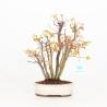 Acer palmatum viridis - maple - 31 cm