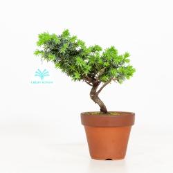 Juniperus rigida - Genévrier rigide - 22 cm