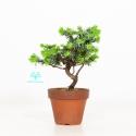 Juniperus rigida - Temple jupiter - 22 cm