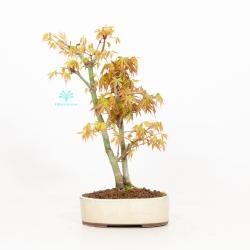 Acer palmatum viridis - Maple - 33 cm