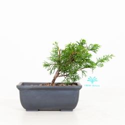 Juniperus Chinensis Itogawa - Ginepro - 17 cm