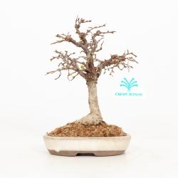 Zelkova serrata - Olmo - 19 cm