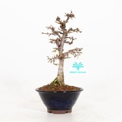 Zelkova serrata - Orme - 23 cm