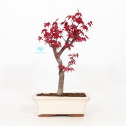 Acer palmatum deshojo - maple - 36 cm